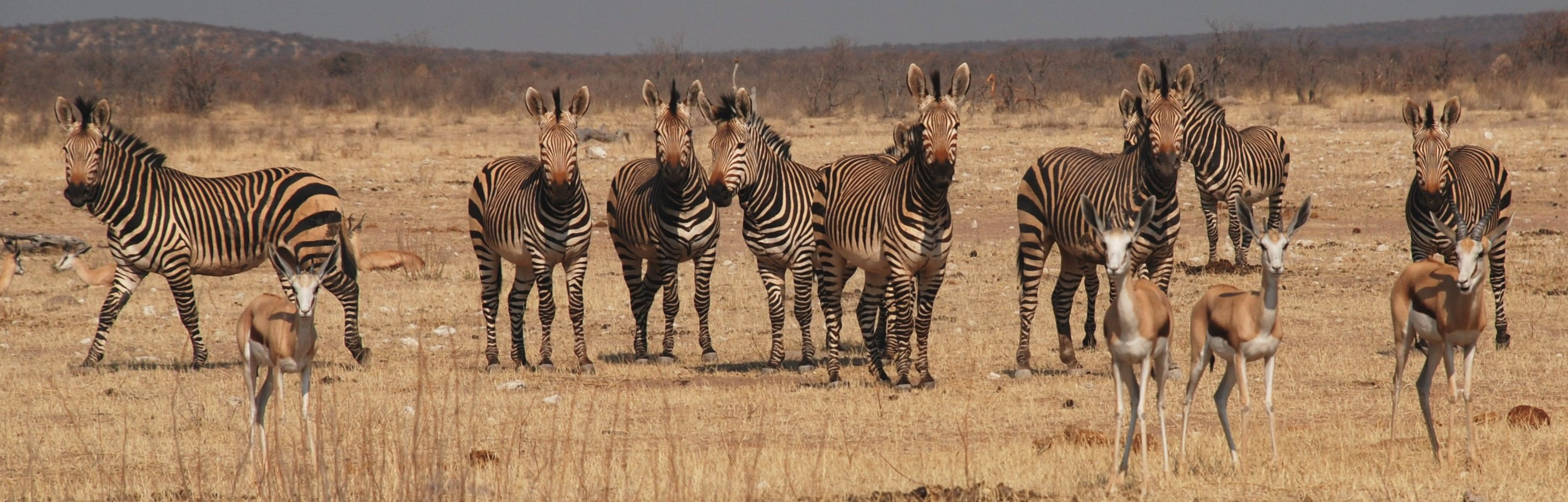 Bachelor group of Hartmann's mountain zebra in Etosha National Park